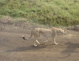 cheetah on African safari